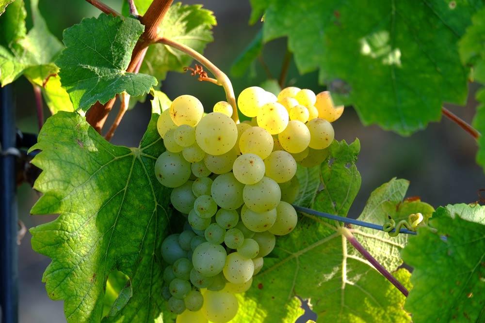 Wine tour: il vino bianco Soave
